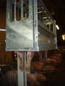 Klauenpflegestand für Sauen Piggytrim